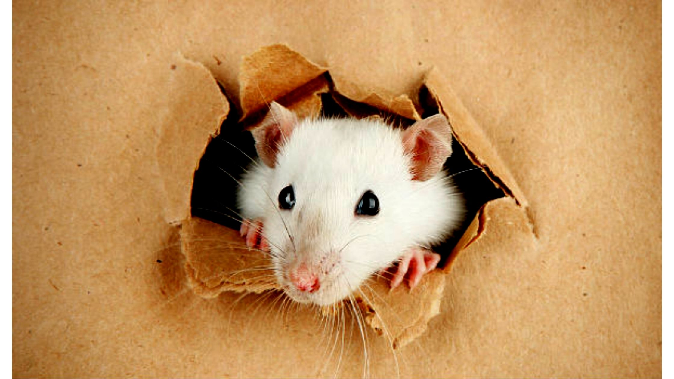 How To Get Rid Of Rats Home Remedies