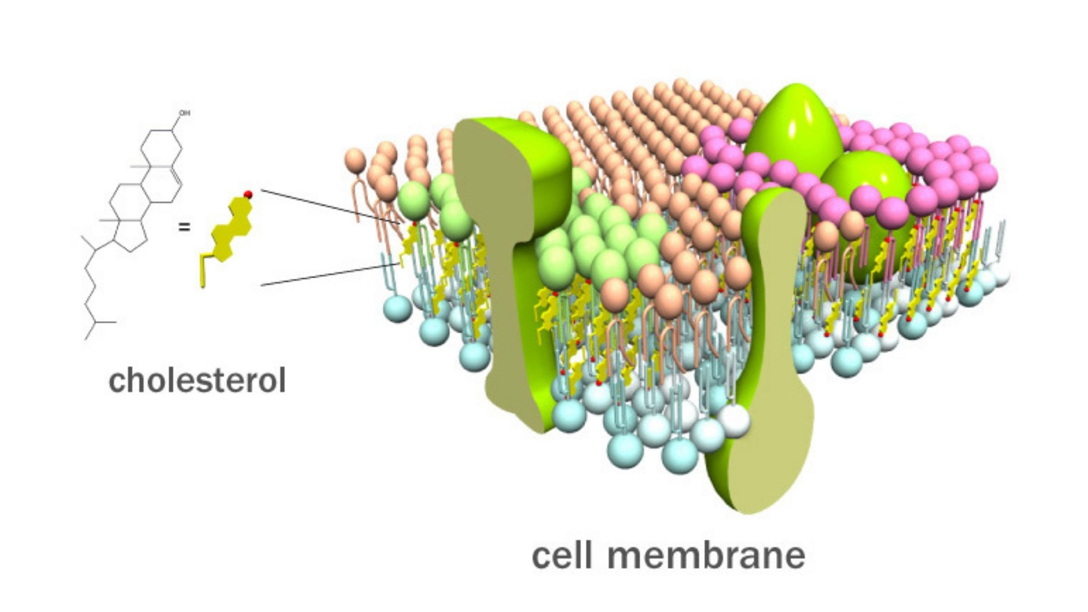 How does Cholesterol Affect the membrane?