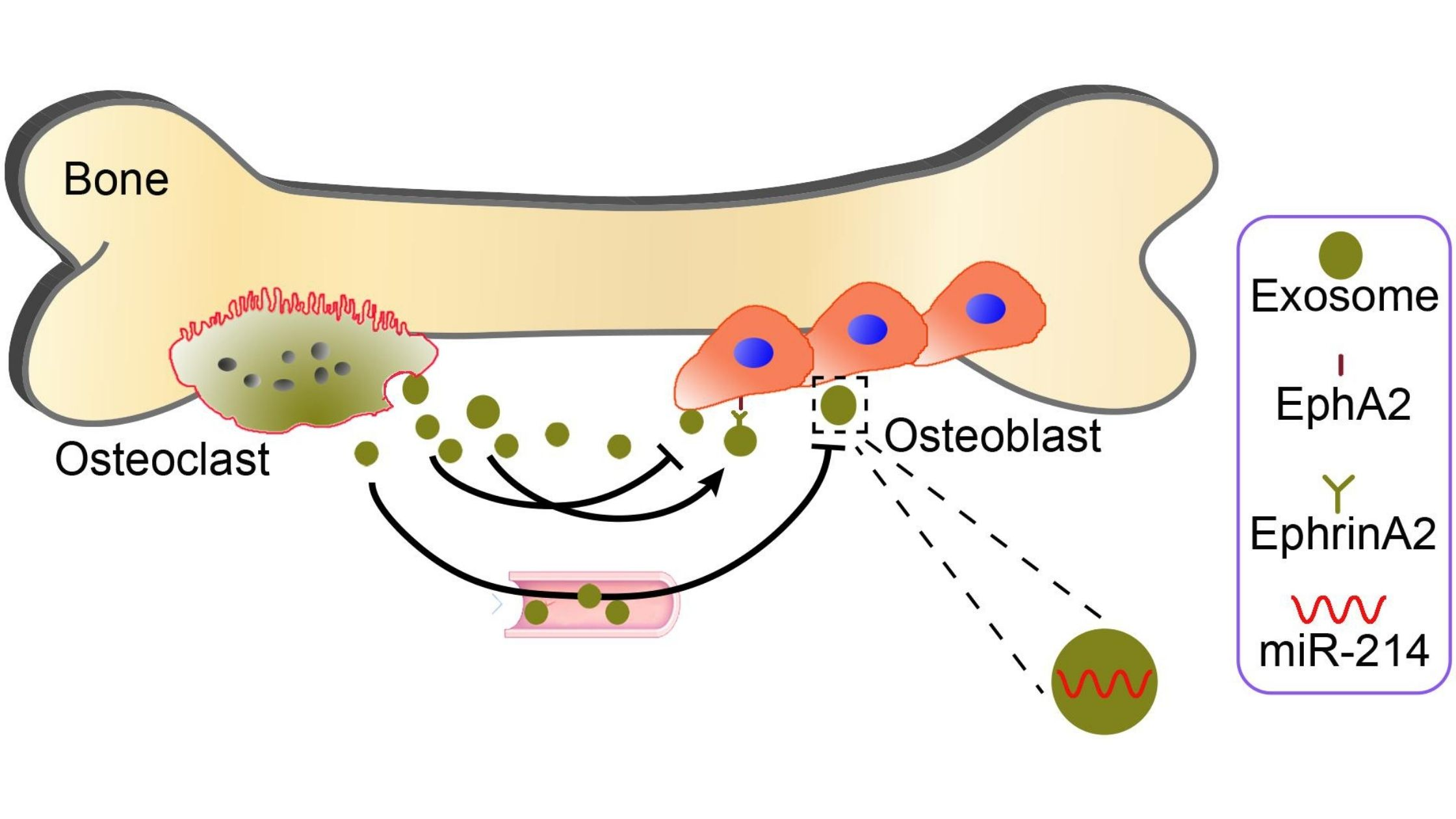 The science behind the process of bone resorption