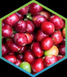 Coffee fruit extract