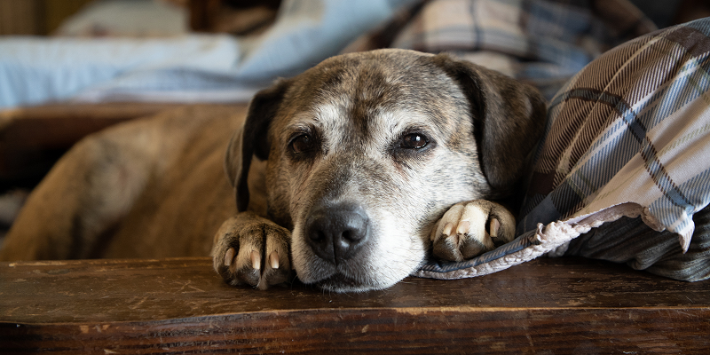 When To Euthanize A Dog With Cushing's Disease?